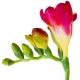 Fresia: een oud en toch jong bloemetje