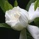 De beste op een rij: Gardenia geuren (2016)