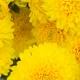Gele Bloemen: Het vertalen van kleursignalen in olfactorische bestanddelen